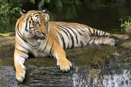 tiger lying down on waterfall