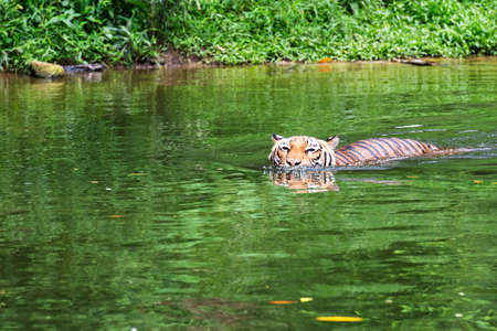 tigresa: Tigre malayo nadar en un río Foto de archivo