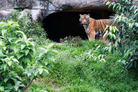 Malayan Tiger Standing Near a cave