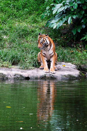 Malayan Tiger Standing Near a River