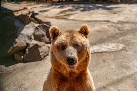 Beautiful brown bear walking in the Park. Foto de archivo