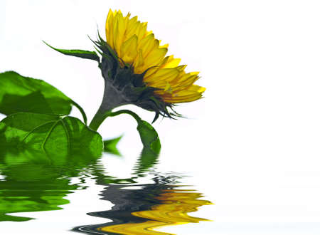 Sunflower touching the water with reflection