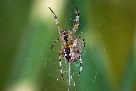 segmentata: Garden Spider waiting in her web