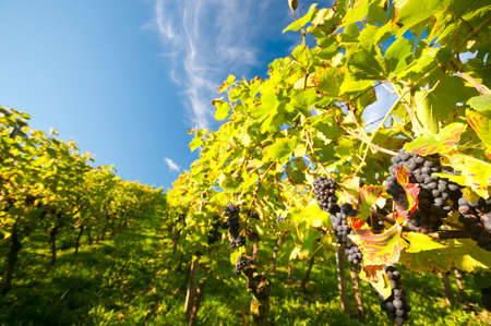 Wineyard in Hessen Germany