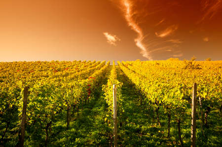 Sunset in a wineyard in Hessen Germany