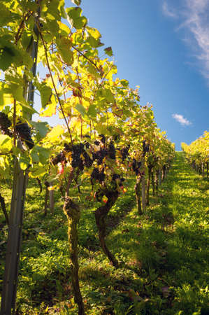 wineyard: Vineyard in Germany Stock Photo