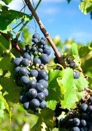 red grapes in a german vineyard photo