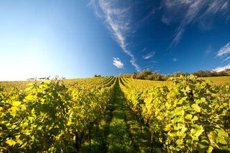 Vineyard in Germany Standard-Bild