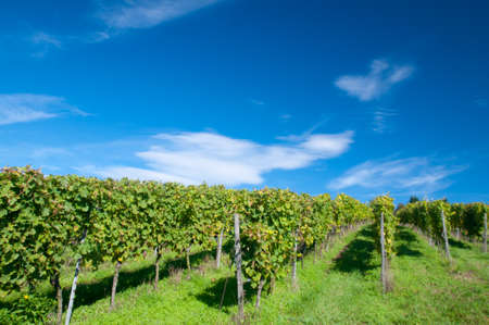 wineyard: Vineyard in Hessen Germany