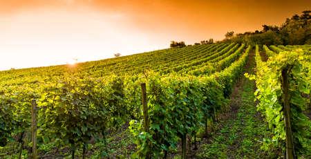 Sunset in a vineyard in Hessen Germany