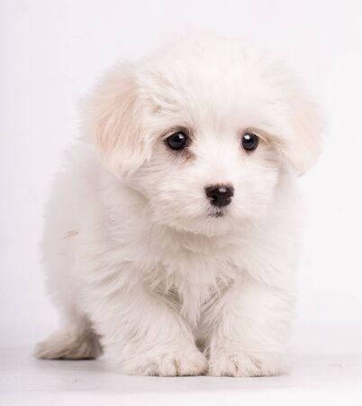 Porträt eines maltesischen Hundes, der isoliert auf weißem Hintergrund in die Kamera schaut