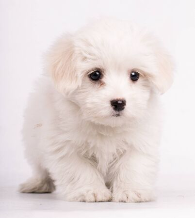 Portrait of maltese dog looking at camera isolated on white bakcground
