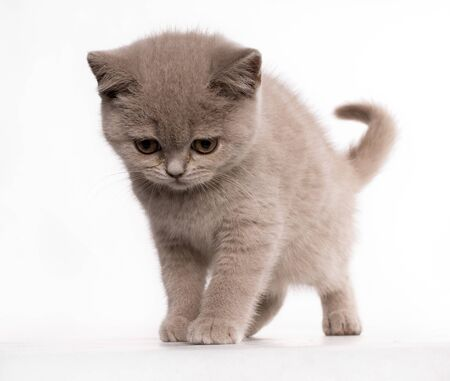 Blue cat british shorthair with a rare color looking down with sad expression Standard-Bild