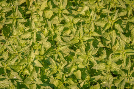 urtica: stinging nettles (Urtica) with fresh green leaves in the sunlight