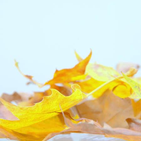 wonderful colorful autumn leaves from a London plane tree Standard-Bild