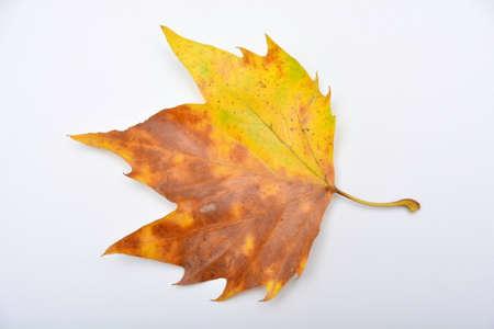 wunderbarer bunte Blätter im Herbst von einem Baum London Flugzeugs Standard-Bild