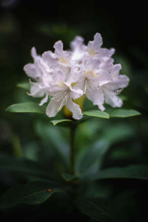 ericaceae: Azalea rhododendron white blossoms in springgarden Rhododendron woody evergreen plants within familiy Ericaceae is the national flower of Nepal Stock Photo