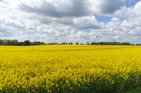 Blooming field of yellow rapeseed against the blue sky