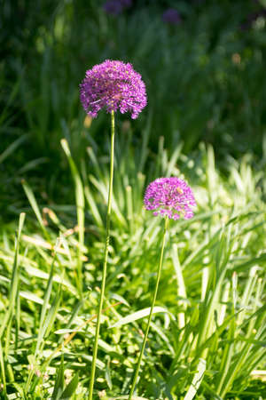 Purple globe allium flower in the spring Stock Photo