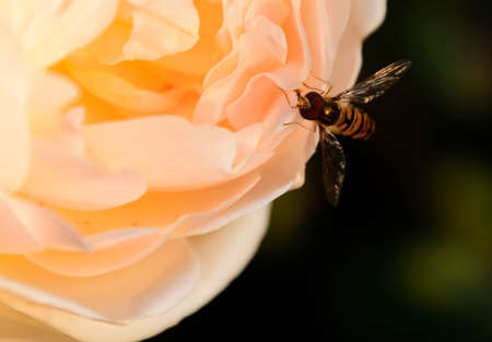 hover fly sitting on a rose blossom Stock fotó