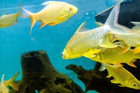 fresh water fish: fresh water fish in aquarium