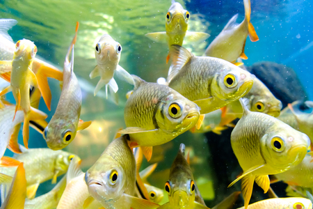 small group of animals: fresh water fish in aquarium