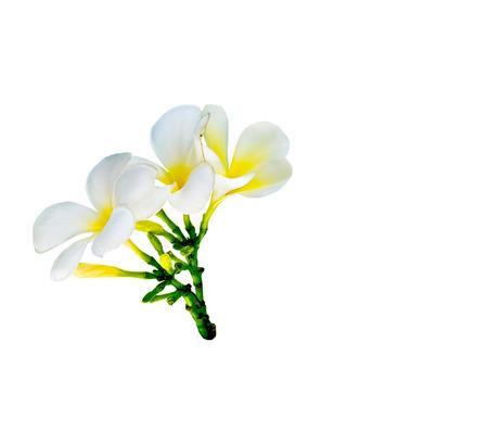 bouquet of white plumeria flower on white background