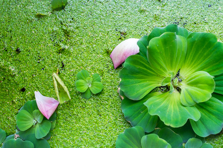 salvinia: background of Pistia stratiotes Linn.water plant on water basin Stock Photo