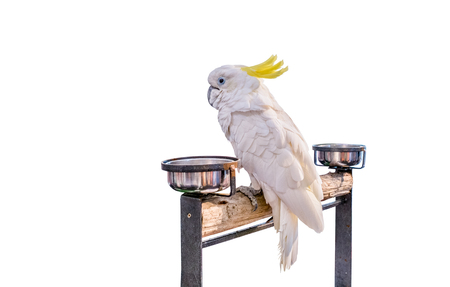 cocky: Cockatoo bird on the log on white background