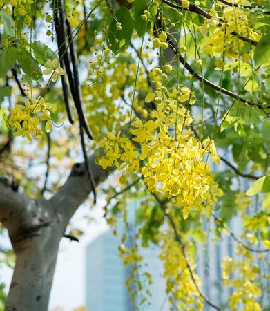 leguminosae: Golden shower flower tree, Cassia fistula in summer Stock Photo