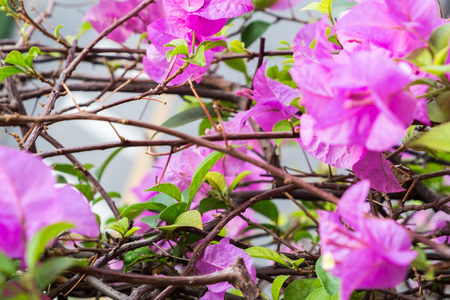 color bougainvillea: pink bougainvillea flower and leave; Selected focus Stock Photo