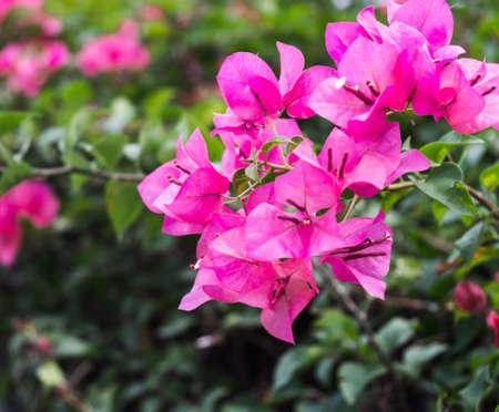 color bougainvillea: Two tone color of Bougainvillea in blur background