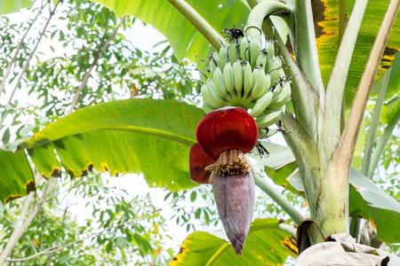 tiers: Banana blossom on banana tree Stock Photo