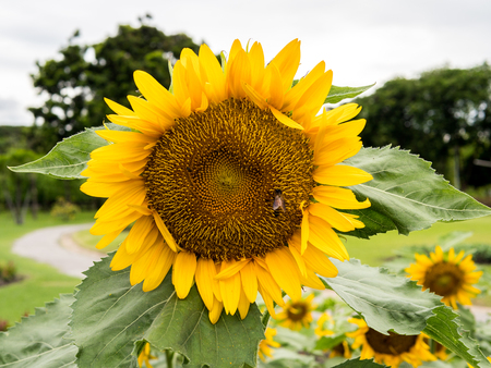 sun flowers: Sun Flowers fields