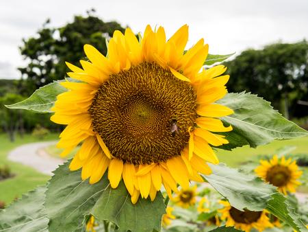 flowers sun: Sun Flowers fields