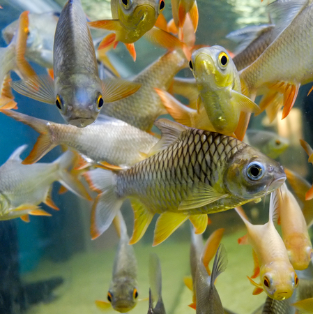 fresh water fish in aquarium, Fish Tank Stock Photo