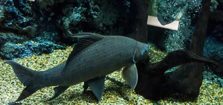 fishtank: fresh water fish in aquarium, Fish Tank Stock Photo