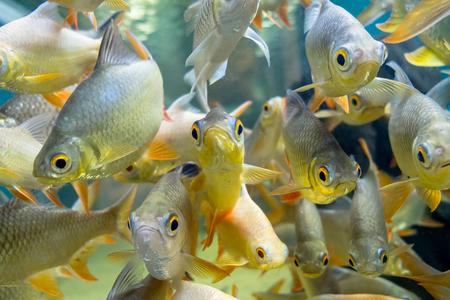 aquarium hobby: fresh water fish in aquarium, Fish Tank Stock Photo