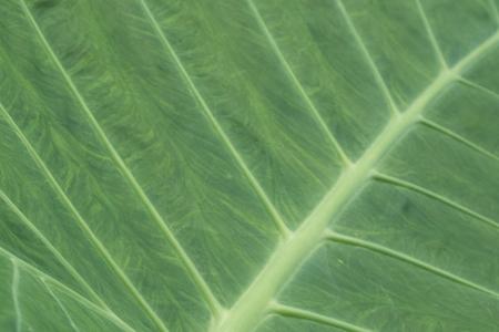 Araceae leaf texture close up