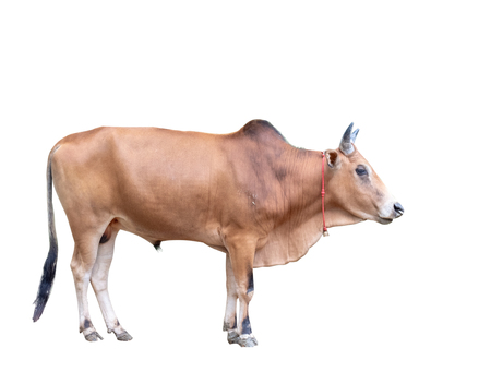 ox animal, male cow