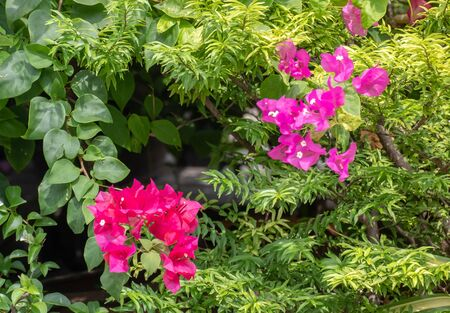 Bougainvillea flowers texture and background. Red flowers of bougainvillea tree. 版權商用圖片