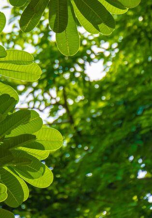 Fresh light green tree leave bokeh background