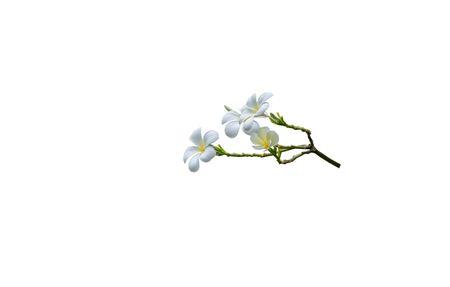 bouquet white plumeria