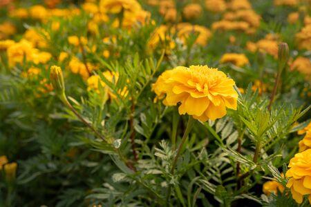 yellow marigold in field