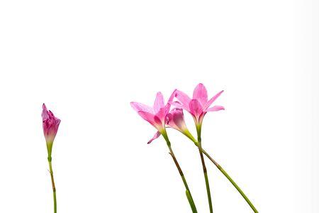 beautiful pink rain Lily flower