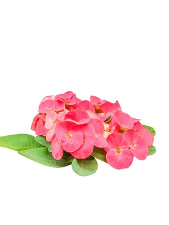 Euphorbia milii (crown of thorns) with path. Christmas flower. Banco de Imagens