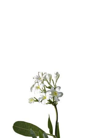 bouquet white plumeria isolated with path