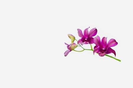 branch of pink orchids isolated on a white background Banco de Imagens