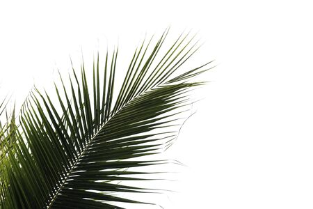 Coconut leaf isolated on white background with clip path