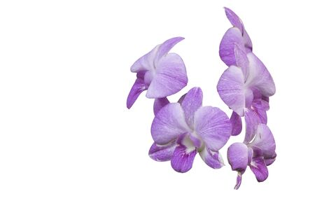 Pink orchid flower isolated on white background with clip path